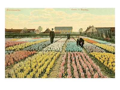 Hyacinth Garden, Haarlem, Holland--Art Print