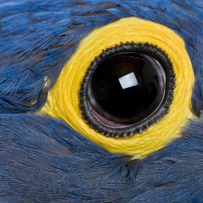 Hyacinth Macaw, 1 Year Old, Close Up On Eye-Life on White-Photographic Print