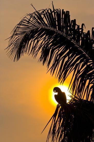 Hyacinth Macaw (Anodorhynchus Hyacinthinus) Calling, Silhouetted Against The Sun, Pantanal-Juan Carlos Munoz-Photographic Print