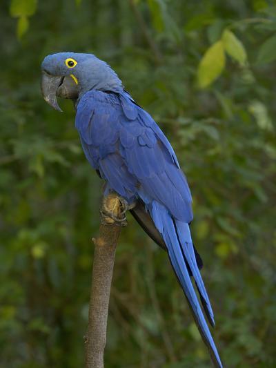 Hyacinth Macaw (Anodorhynchus Hyacinthinus), Captive-Dave Watts-Photographic Print