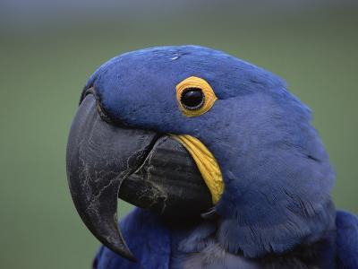 Hyacinth Macaw (Anodorhynchus Hyacinthinus), Endangered, Pantanal, Brazil-Konrad Wothe-Photographic Print