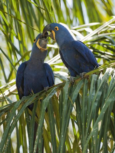 Hyacinth Macaw (Anodorhynchus Hyacinthinus) Pantanal, Brazil-Mary Ann McDonald-Photographic Print