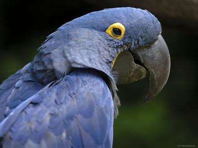 Hyacinth Macaw, Head Profile-Eric Baccega-Photographic Print