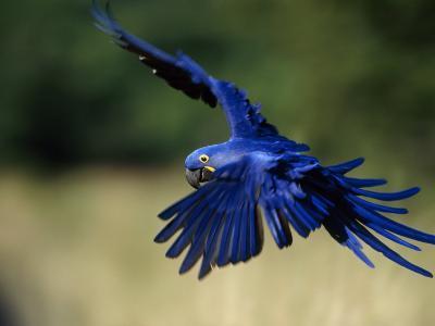 Hyacinth Macaw in Flight-Joel Sartore-Photographic Print