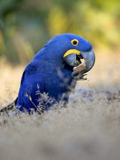 Hyacinth Macaw, Parrot Eating Brazil Nuts, Brazil-Roy Toft-Photographic Print