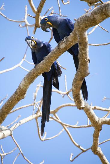 Hyacinth Macaws (Anodorhynchus Hyacinthinus), Mato Grosso Do Sul, Brazil, South America-Alex Robinson-Photographic Print