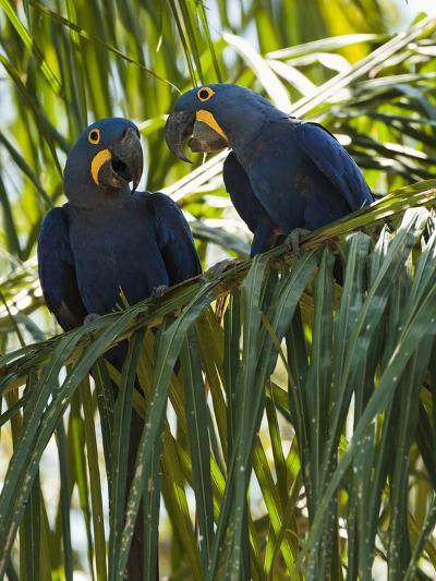 Hyacinth Macaws (Anodorhynchus Hyacinthinus), Pantanal, Brazil-Mary Ann McDonald-Photographic Print