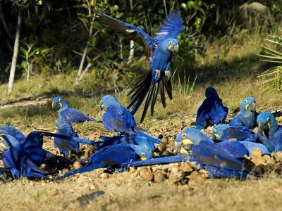 Hyacinth Macaws, Flock of Parrots Eating Brazil Nuts, Brazil-Roy Toft-Photographic Print