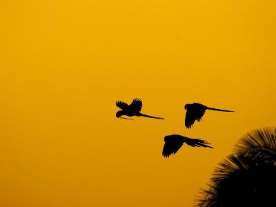 Hyacinth Macaws, Parrots in Flight at Sunrise, Brazil-Roy Toft-Photographic Print