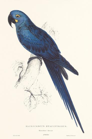 Hyacinthine Parakeet-Edward Lear-Art Print