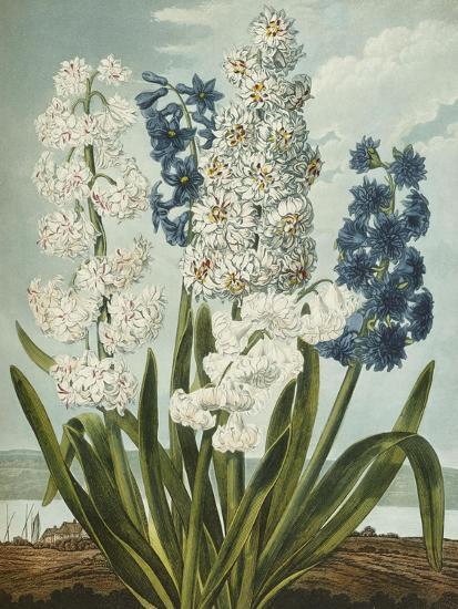 Hyacynths-Robert John Thornton-Giclee Print