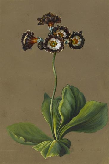 Hybrid Auricula, 1830-Louise D'Orleans-Giclee Print