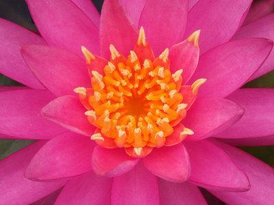 https://imgc.artprintimages.com/img/print/hybrid-water-lily-louisville-kentucky-usa_u-l-p49tan0.jpg?p=0