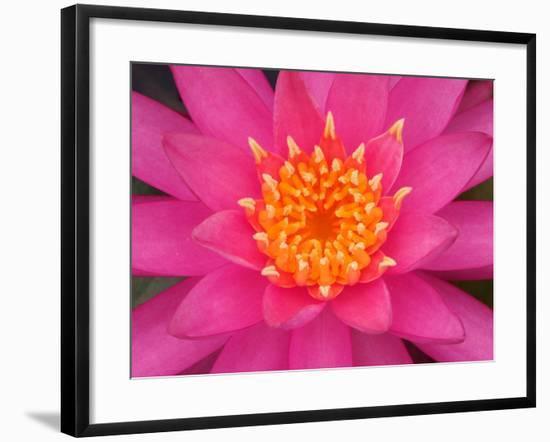 Hybrid Water Lily, Louisville, Kentucky, USA-Adam Jones-Framed Photographic Print