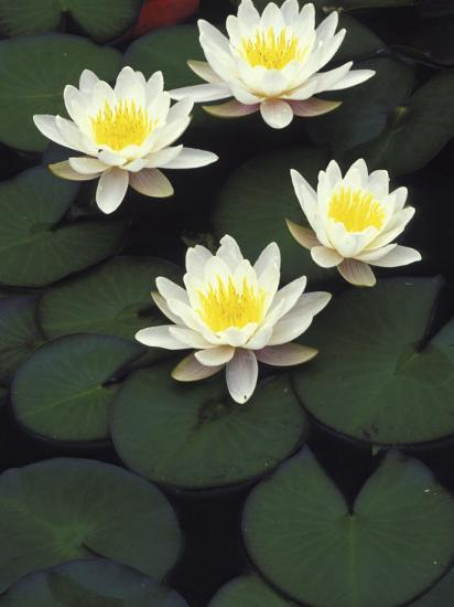 Hybrid waterlilys, Indiana, USA-Adam Jones-Photographic Print