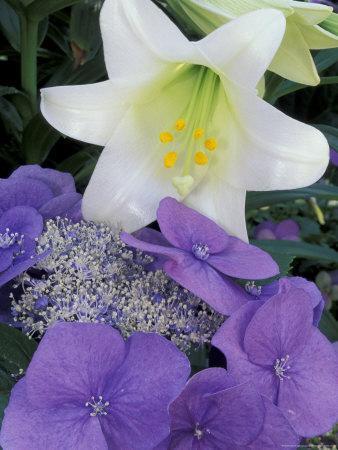 https://imgc.artprintimages.com/img/print/hydrangea-and-easter-lily-cincinatti-ohio-usa_u-l-p5agy20.jpg?p=0