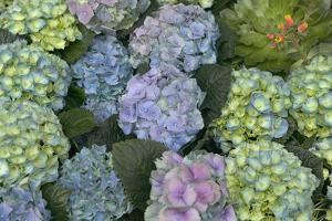 Hydrangea Close-Up of Flowers