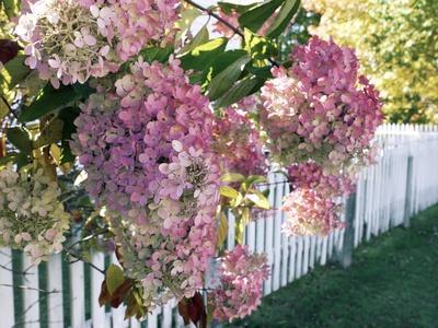 https://imgc.artprintimages.com/img/print/hydrangea-garden-flowers_u-l-pzfcpa0.jpg?p=0