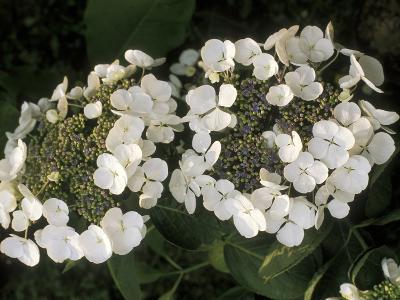 "Hydrangea Macrophylla ""Libelle""-Michele Lamontagne-Photographic Print"