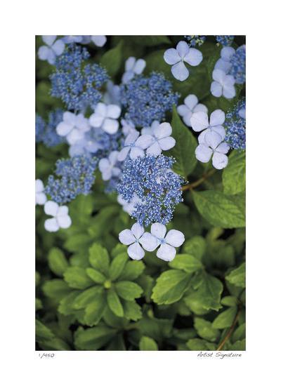 Hydrangea Variation-Stacy Bass-Giclee Print