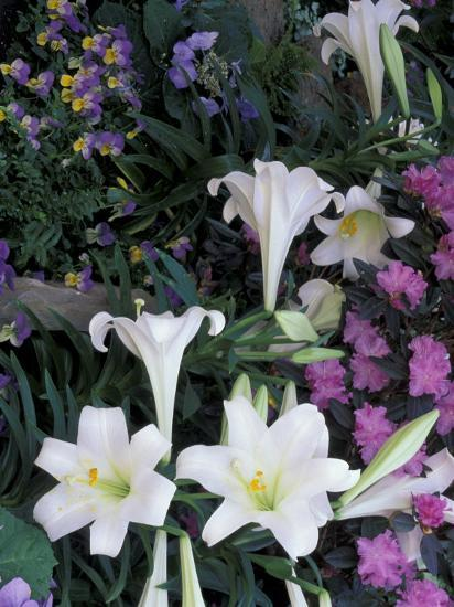 Hydrangea, Violas, Easter Lily's, Cincinatti, Ohio, USA-Adam Jones-Photographic Print