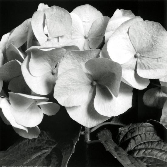 Hydrangea-Darlene Shiels-Art Print