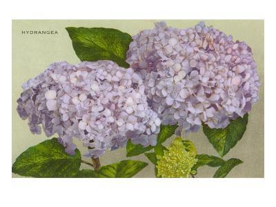 Hydrangea--Art Print