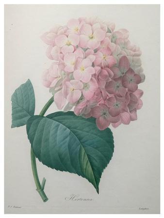 https://imgc.artprintimages.com/img/print/hydrangea_u-l-pwb9pz0.jpg?p=0