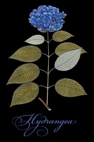 Hydrangea-Mindy Sommers-Giclee Print