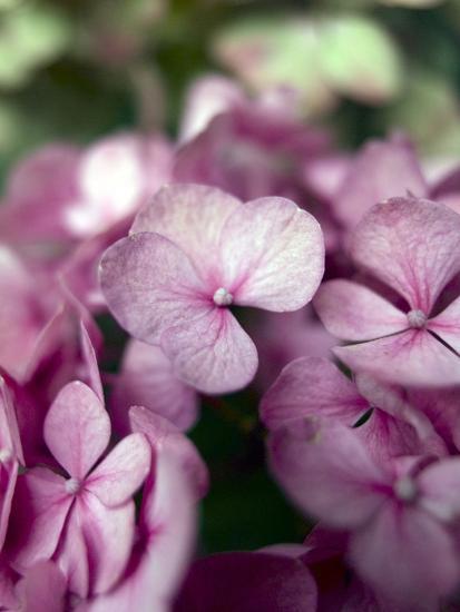Hydrangeas, Blossoms, Pink, Detail-S. Uhl-Photographic Print