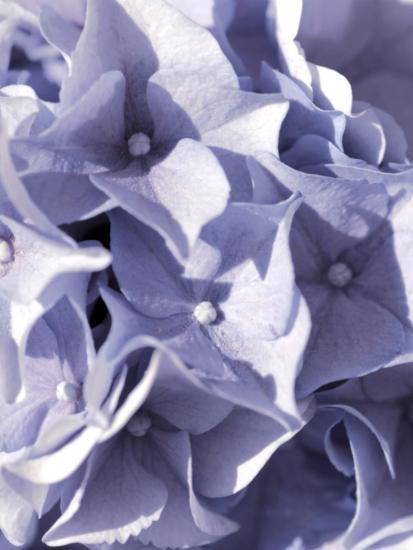 Hydrangeas Flower-Grab My Art-Art Print