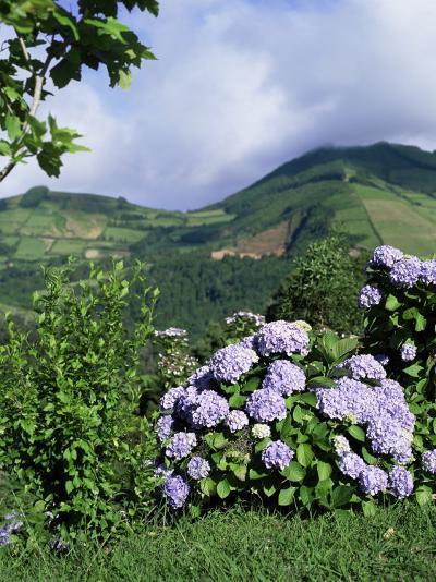 Hydrangeas in Bloom, Island of Sao Miguel, Azores, Portugal-David Lomax-Photographic Print