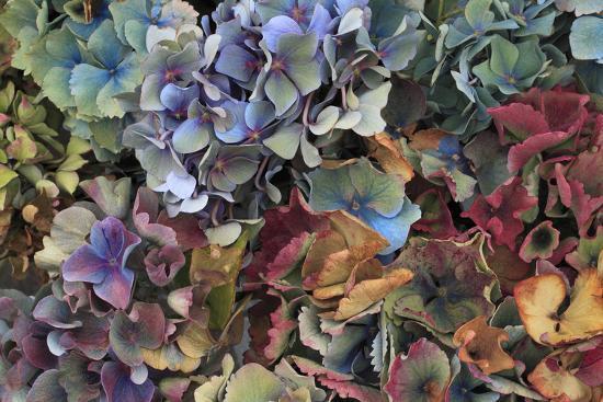 Hydrangeas in Garden, Portland, Oregon, USA Photographic Print by Jaynes  Gallery | Art com
