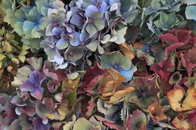 https://imgc.artprintimages.com/img/print/hydrangeas-in-garden-portland-oregon-usa_u-l-pn6qah0.jpg?p=0
