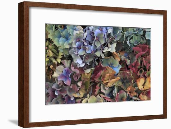 Hydrangeas in Garden, Portland, Oregon, USA-Jaynes Gallery-Framed Photographic Print