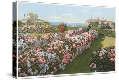 Hydrangeas, Nantucket, Massachusetts