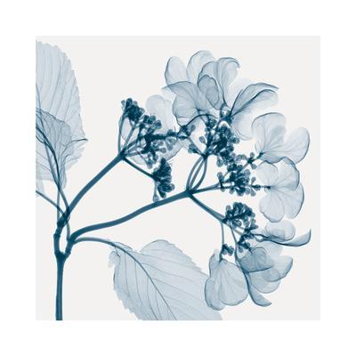 https://imgc.artprintimages.com/img/print/hydrangeas-positive-left_u-l-f5m1560.jpg?p=0
