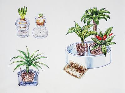 Hydroculture, Growing of Plants in a Soilless Medium or an Aquatic Based Environment--Giclee Print