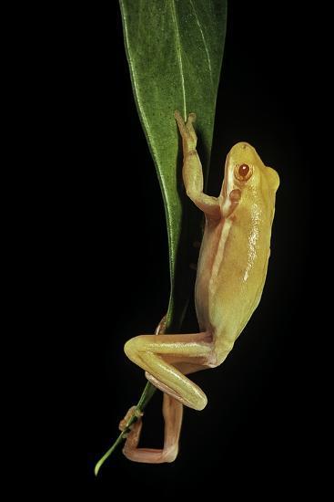 Hyla Cinerea Albino (American Green Tree Frog)-Paul Starosta-Photographic Print