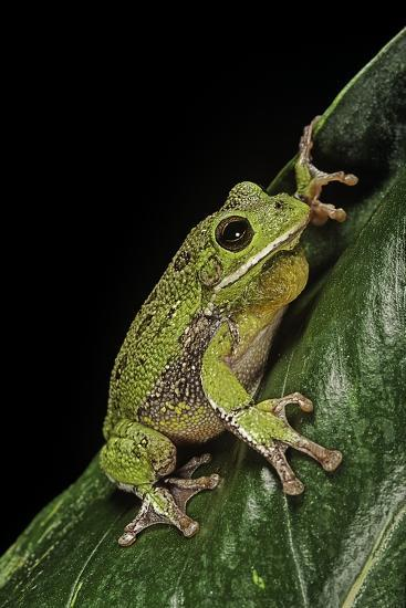 Hyla Gratiosa (Barking Treefrog)-Paul Starosta-Photographic Print