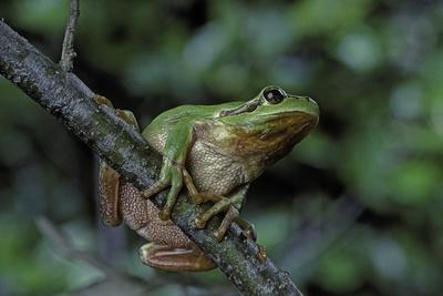 https://imgc.artprintimages.com/img/print/hyla-meridionalis-mediterranean-tree-frog-in-a-tree_u-l-pzqocg0.jpg?p=0