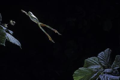 Hyla Meridionalis (Mediterranean Tree Frog) - Leaping-Paul Starosta-Photographic Print