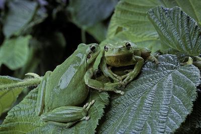 Hyla Meridionalis (Mediterranean Tree Frog) - Pair-Paul Starosta-Photographic Print