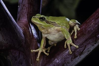 Hyla Meridionalis (Mediterranean Tree Frog)-Paul Starosta-Photographic Print