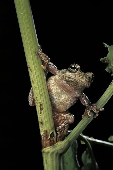 Hyla Versicolor (Gray Treefrog)-Paul Starosta-Photographic Print
