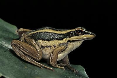 Hylarana Erythraea (Common Green Frog, Leaf Frog)-Paul Starosta-Photographic Print