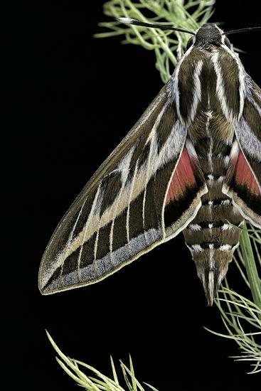 Hyles Lineata (White-Lined Sphinx, Hummingbird Moth)-Paul Starosta-Photographic Print