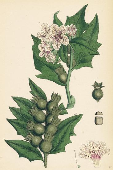 Hyoscyamus Niger Common Henbane--Giclee Print