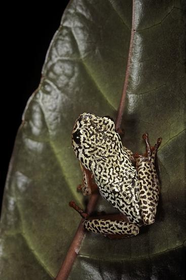 Hyperolius Marmoratus (Marbled Reed Frog, Painted Reed Frog); Multicolored-Paul Starosta-Photographic Print