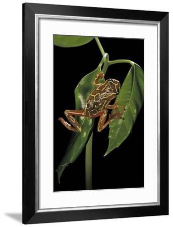 Hyperolius Marmoratus Variabilis (Marbled Reed Frog, Painted Reed Frog)-Paul Starosta-Framed Photographic Print